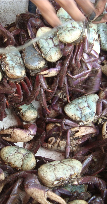 """espécie """"Ucides cordatus"""" é caracterizada pelo período que os caranguejos machos e fêmeas saem de suas tocas e andam pelo manguezal para acasalar e liberar os ovos."""
